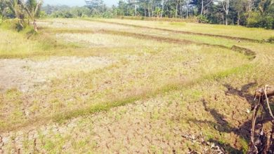 C JPEG 83 390x220 - Kekeringan Parah, Ribuan Hektare Sawah di Sukabumi Gagal Panen