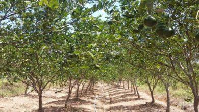 Perkebunan Jeruk 390x220 - Sukalarang Kembangkan Agrowisata, Danau Cidadap dan Pertanian Buah Jeruk Manis