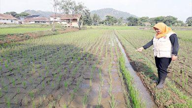 Penyuluh Pertanian BPP Kecamatan Kebonpedes Eni Suliawati 390x220 - Waspada Serangan Blas