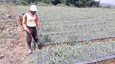 Petani bawang putih 390x220 - Waspada Serangan OPT
