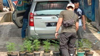 ganja 390x220 - Dua Warga Sukabumi Ditangkap Tanam Ganja