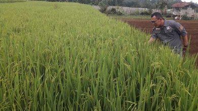 Kepala BPP Kecamatan Sukabumi Diat Sujatman 390x220 - Hujan Datang, Waspada Serangan Hama