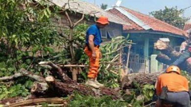 Pohon Pete Tumbang 390x220 - Hujan Deras, Pohon Pete Hatam Tiga Rumah
