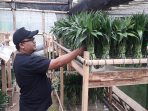 Bambu Suji Sukabumi