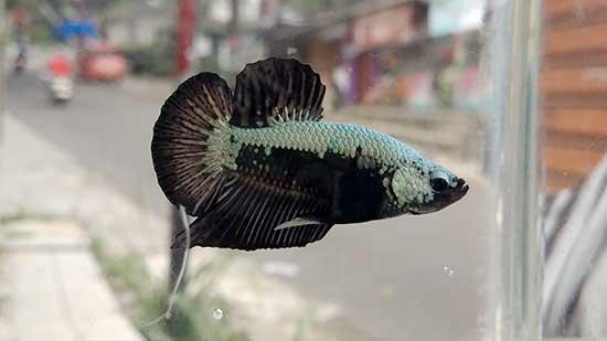 Ikan Cupang Jadi Primadona Radarsukabumi Com