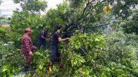Cuaca-Ekstrem- pohon tumbang